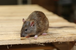 Rodent Control, Pest Control in North Harrow, South Harrow, West Harrow, HA2. Call Now 020 8166 9746